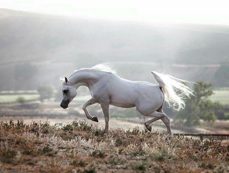 """""""Петушиный хвост"""" арабской лошади"""