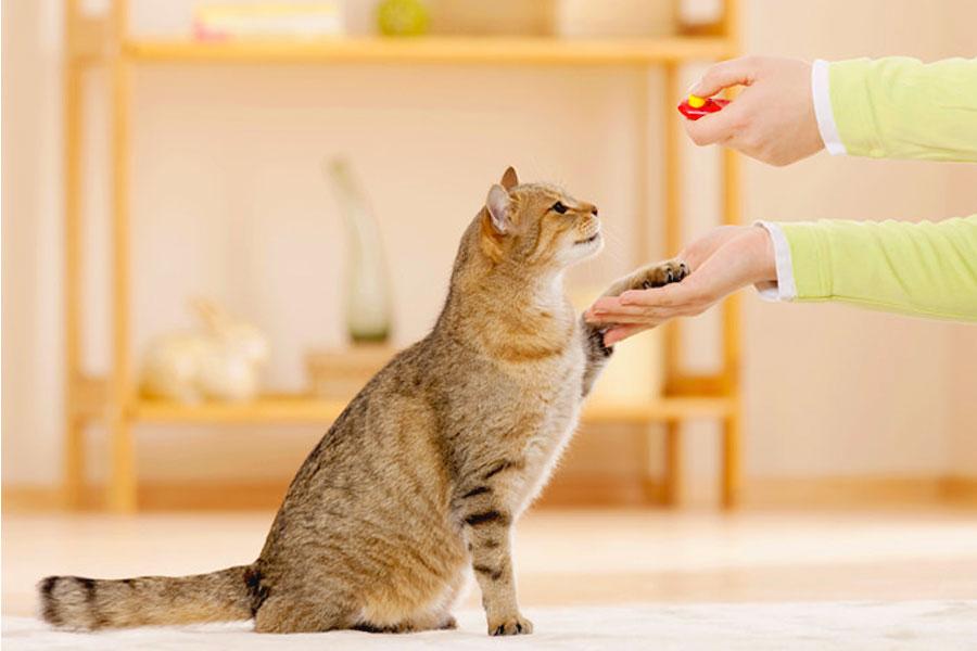 Кликер-дрессировка кошек