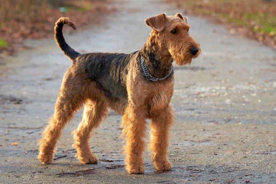 Эрдельтерьер - жесткошерстная собака