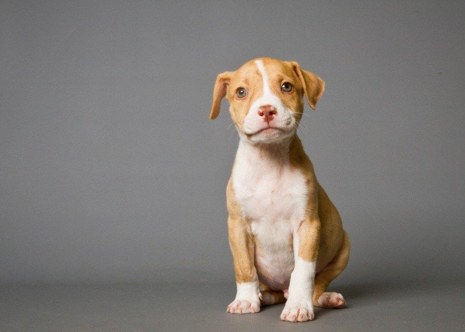 щенок американского питбуля