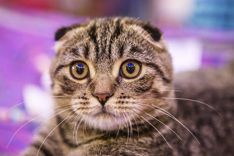 Выставка-шоу породистых кошек