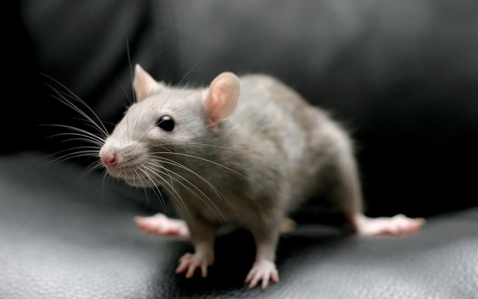 декоративная мышь фото