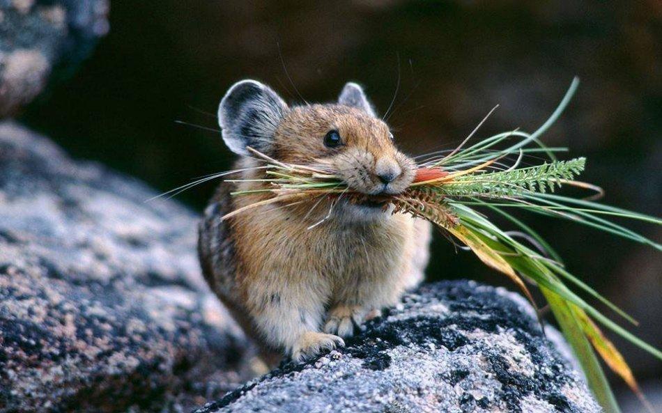 мышь ест траву фото