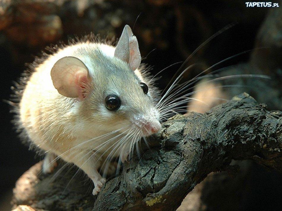 мышь сидит на дереве фото