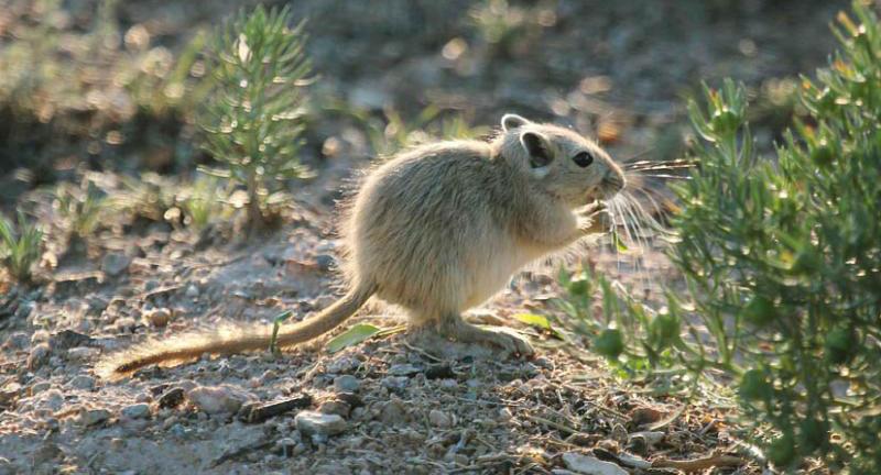 монгольская песчанка ест траву фото
