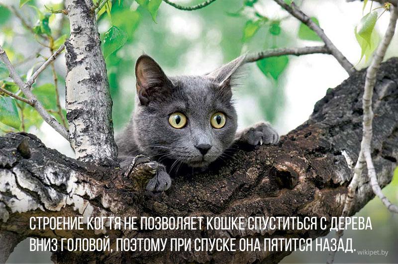 британский кот сидит на дереве
