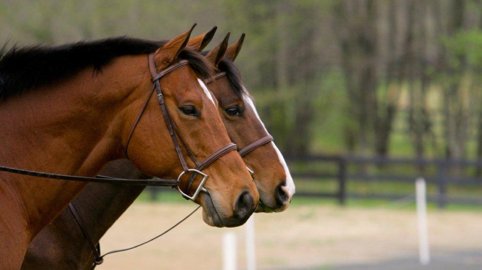 Чистокровные верховые лошади