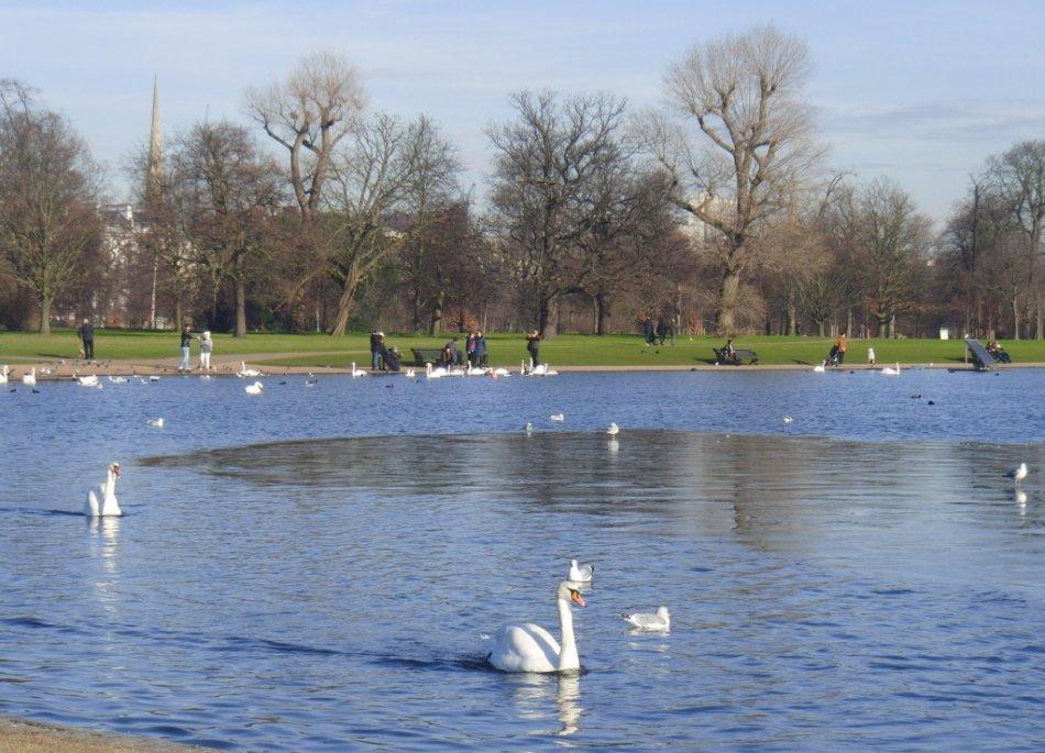 Лебеди в парке в Лондоне