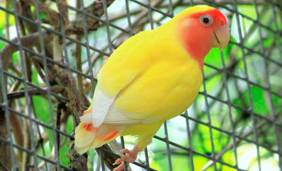 роовощекий нералучник желтый
