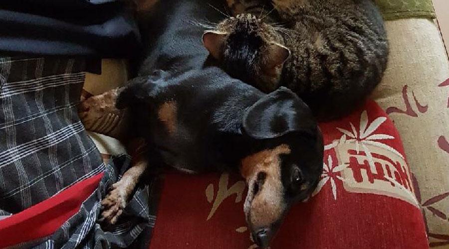 такса и кошка спят вместе