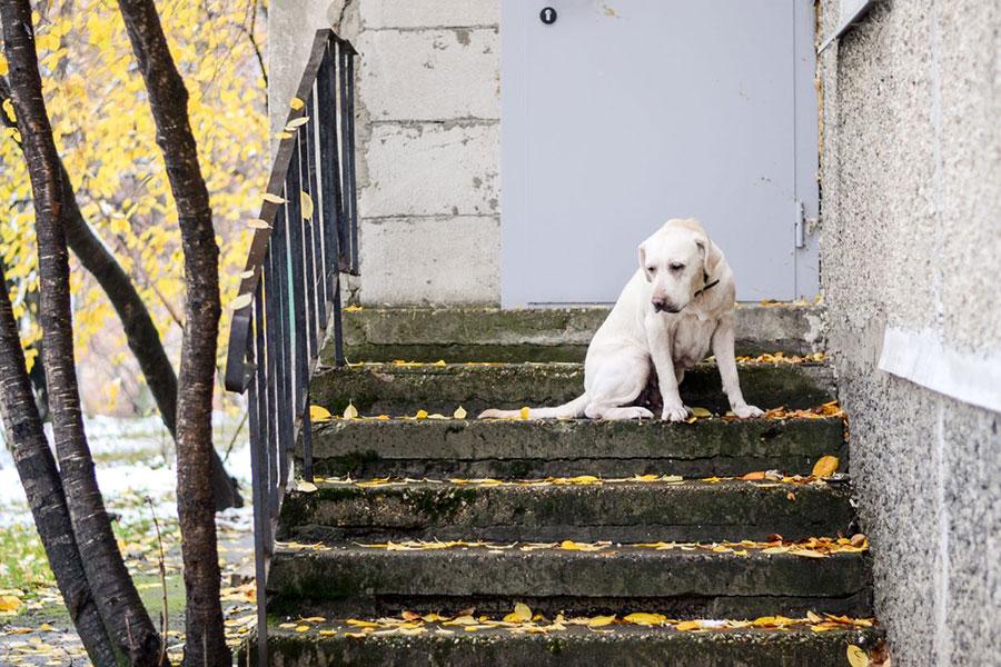 лабрадор сидит на лестнице
