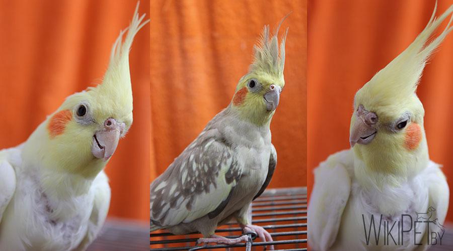 попугаи корелла  коллаж