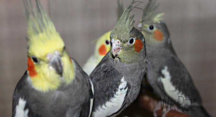 три попугая корелла