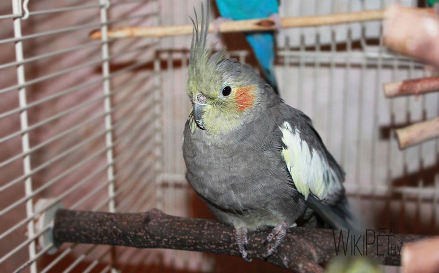 попугай корелла нахохлился в клетке