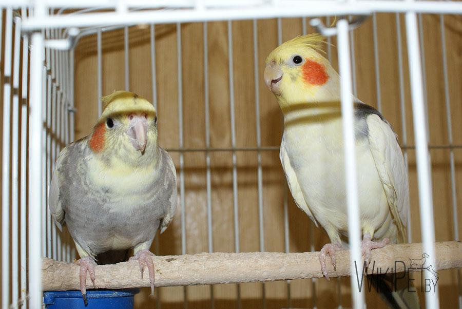 попугаи корелла в клетке