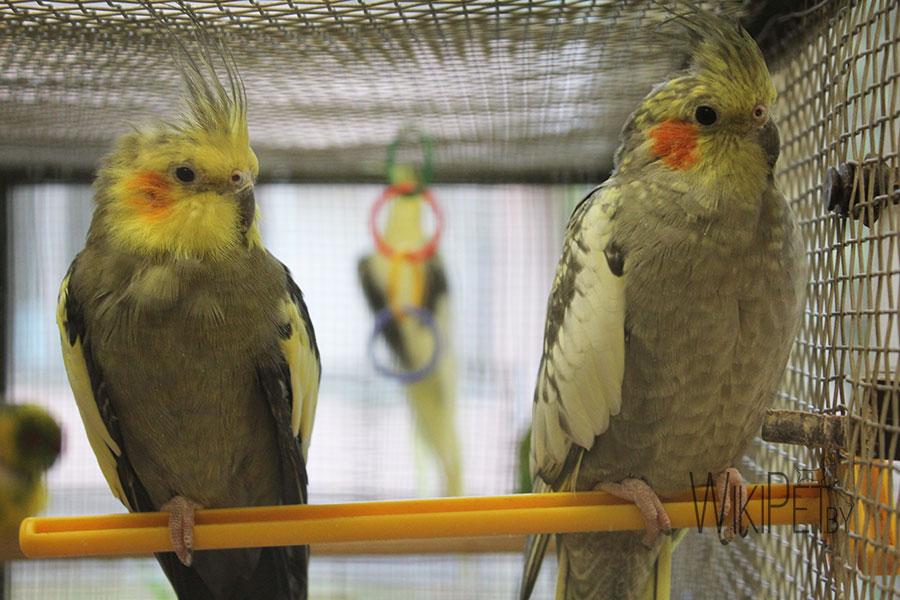два попугая корелла сидят на жердочке
