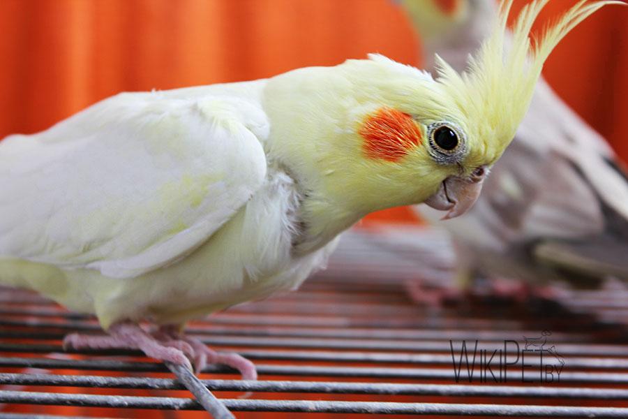 попугай корелла желтый
