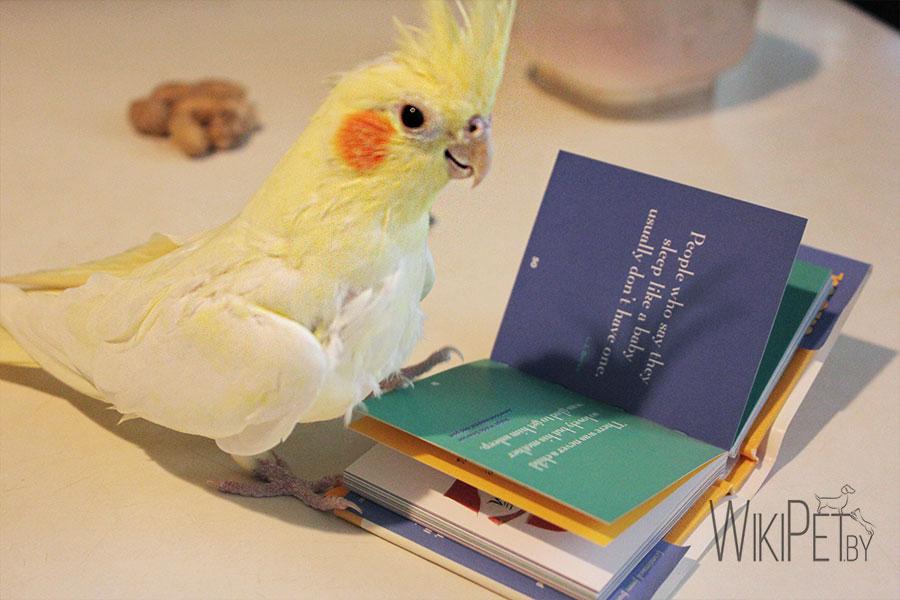 попугай корелла читает книгу