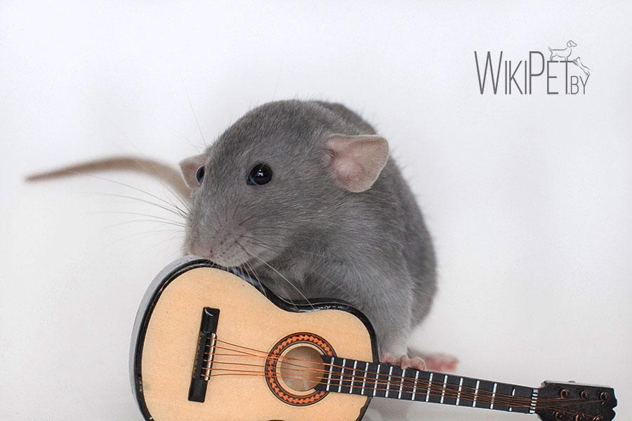 декоративная крыса с гитарой