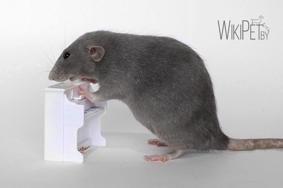 декоративная крыса и пианино