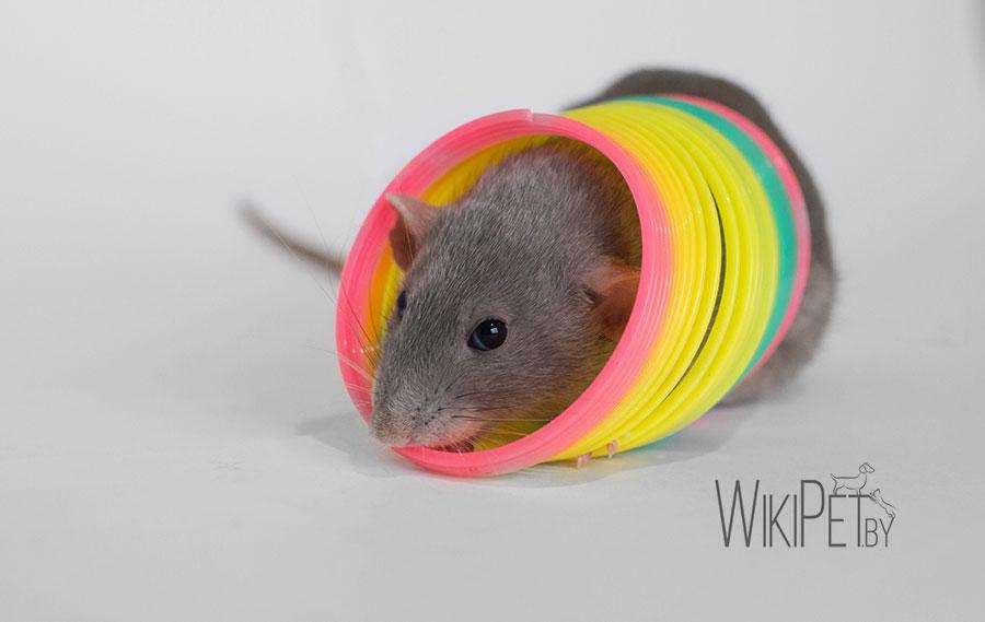 декоративная крыса сидит в кольце