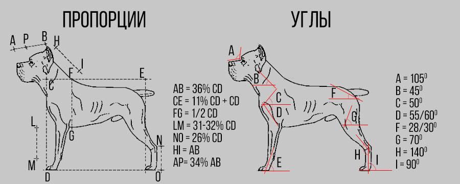 схема пропорции и углы кане-корсо