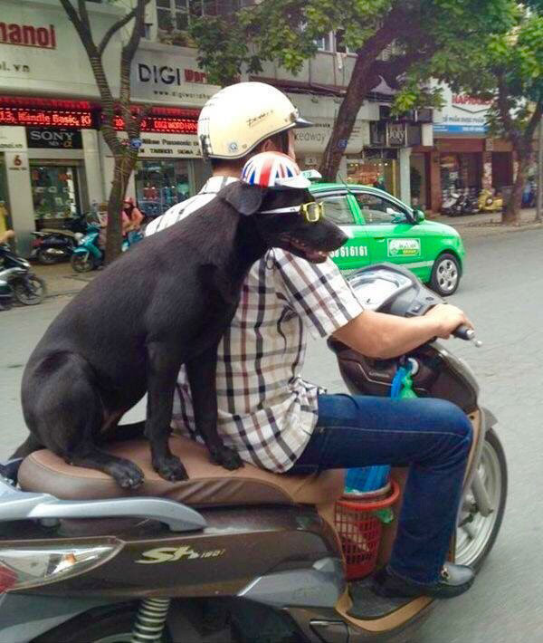 собака в шлеме и очках на мопеде