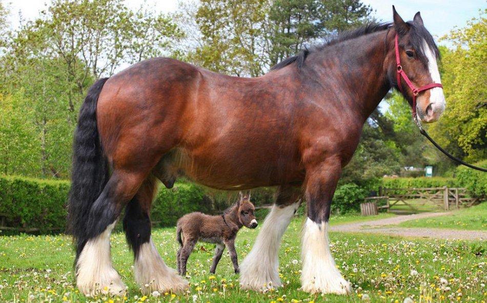 Лошадь породы шайр и ослик