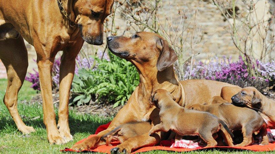 Родезийские риджбеки со щенками