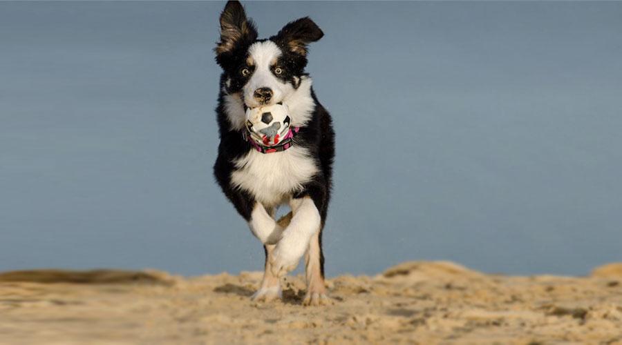 бордер-колли бежит по пляжу