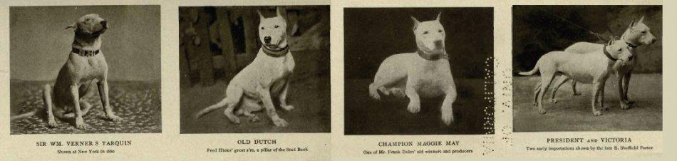 Бультерьеры-герои,собаки,английские собаки