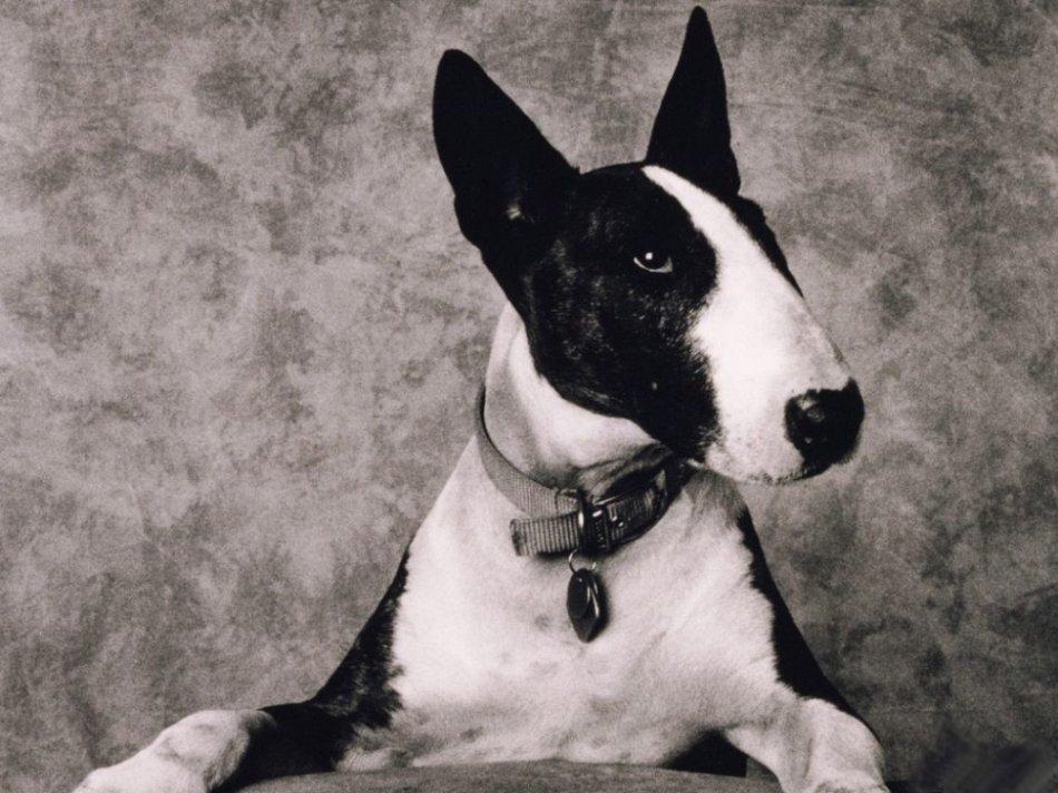 Черно-белый бультерьер,собака,история собаки