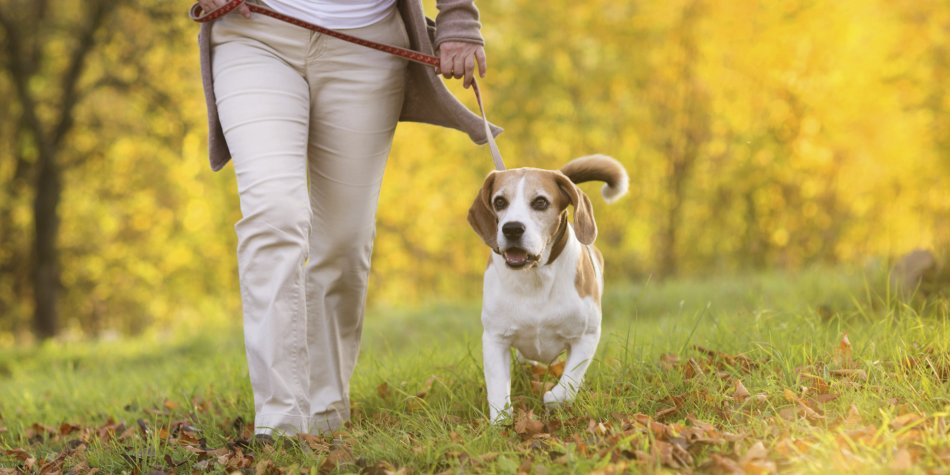 Старая собака на прогулке