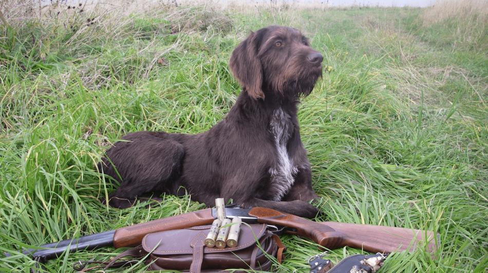 дратхар ,собака на охоте,ружье фото