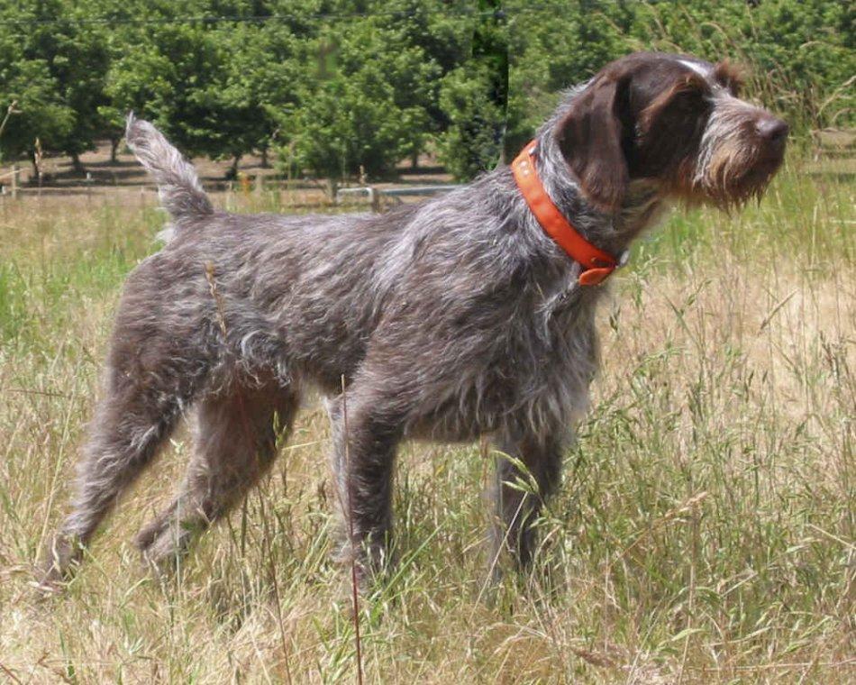 дратхар ,собака в поле фото