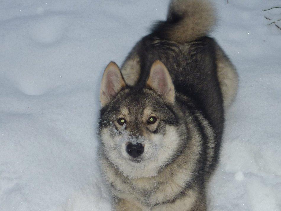 лайка,собака в снегу,западно-сибирская лайка