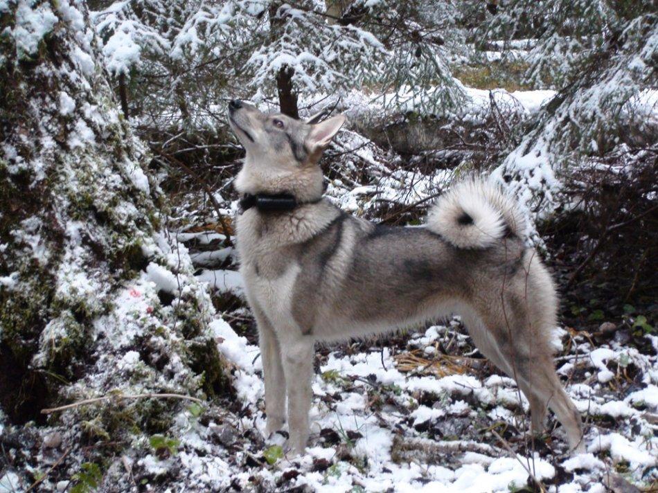 западно-сибирская лайка,собака в лесу