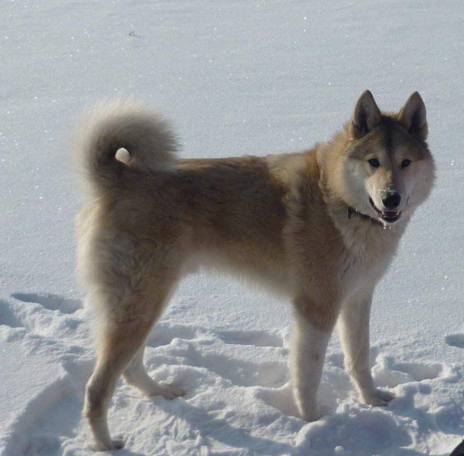 западно-сибирская лайка , лайка в снегу