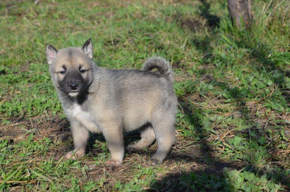 щенок западно-сибирской лайки фото