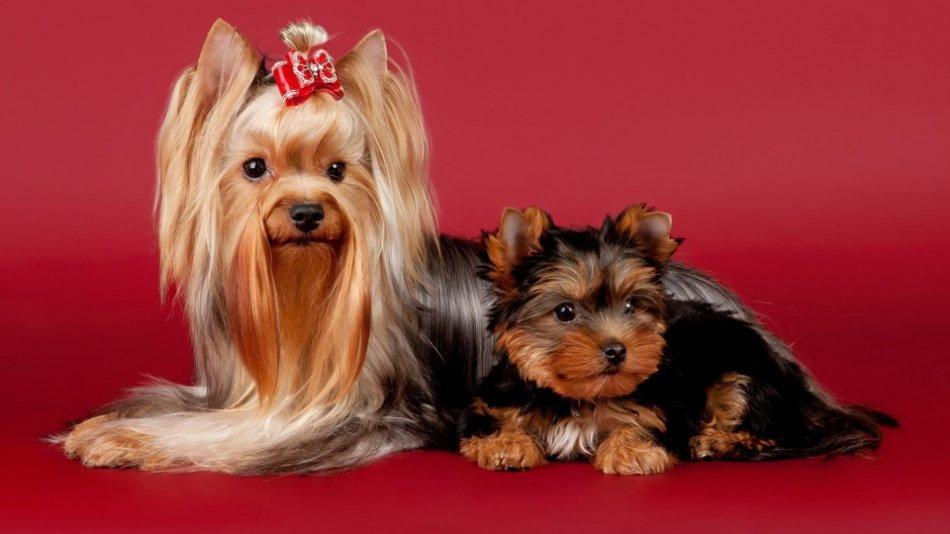 Йоркширский терьер взрослый и щенок фото