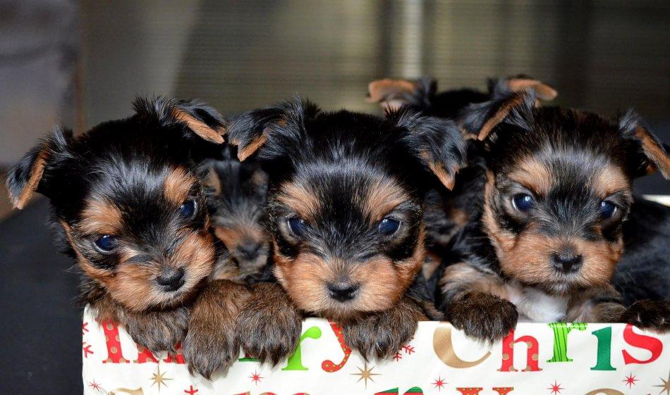 йоркширский терьер щенки,щенки в коробке,подарок