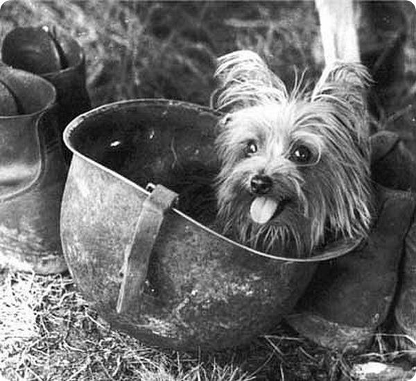 Йоркширский терьер Смоуки в каске фото