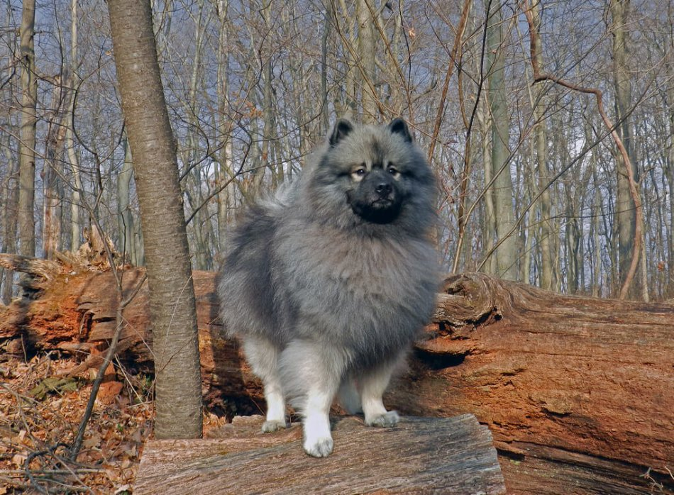 серый кеесхонд стоит на бревне возле дерева