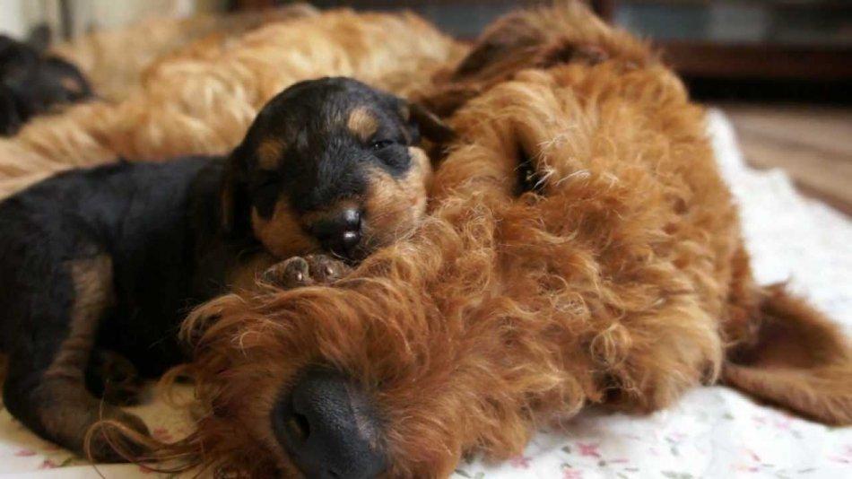 Новорожденный щенок эрдельтерьера фото
