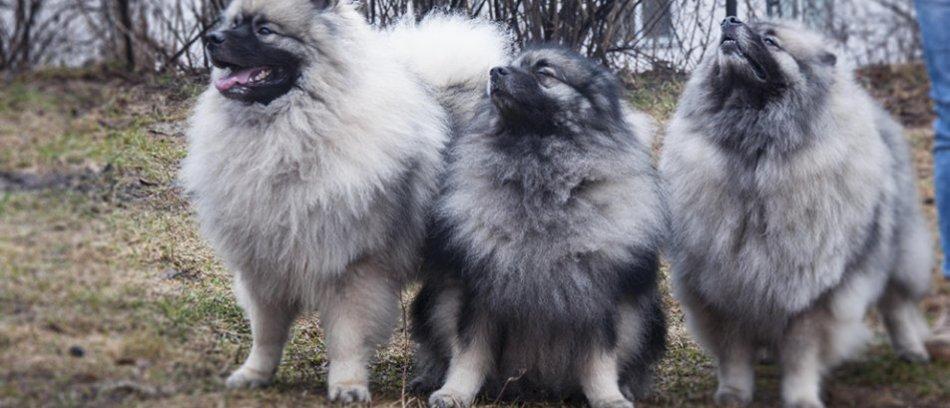 три серых кеесхонда стоят рядом
