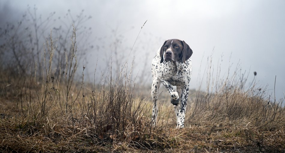 курцхар стоит в поле с поднятой лапой