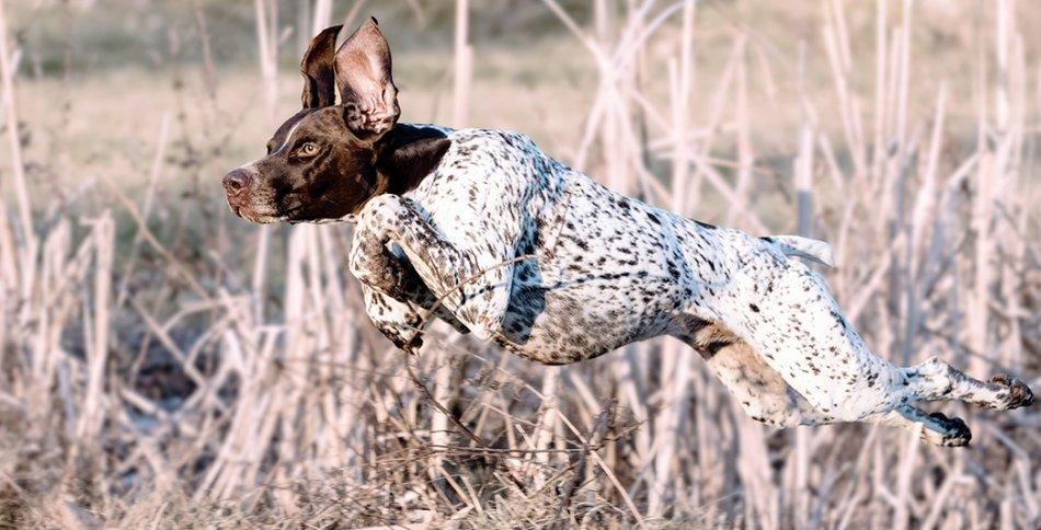 бегущий пятнистый курцхар в поле фото