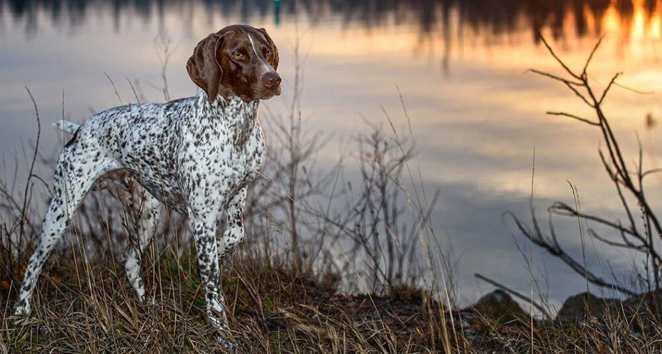 курцхар стоит на берегу озера фото