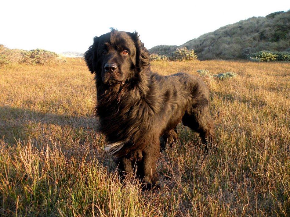черный ньюфаундленд стоит в траве фото