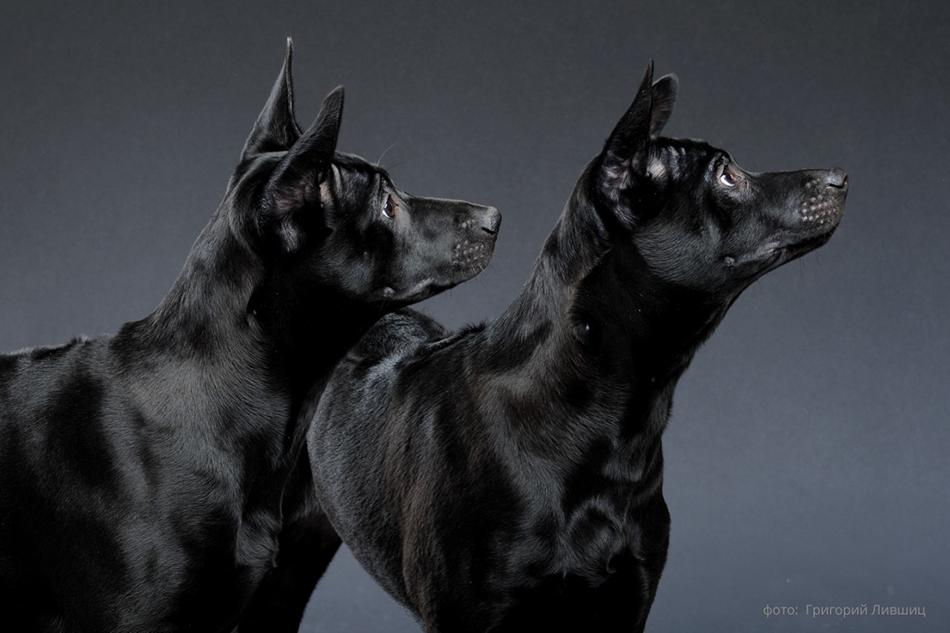 два черных риджбека стоят на сером фоне фото